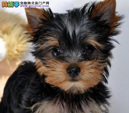 专业繁殖纯种约克夏疫苗齐全微信咨询看狗