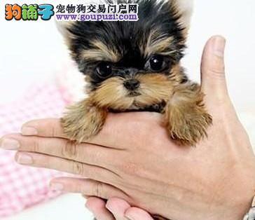 深圳哪里买赛级约克夏犬 深圳哪里有卖纯种约克夏小狗