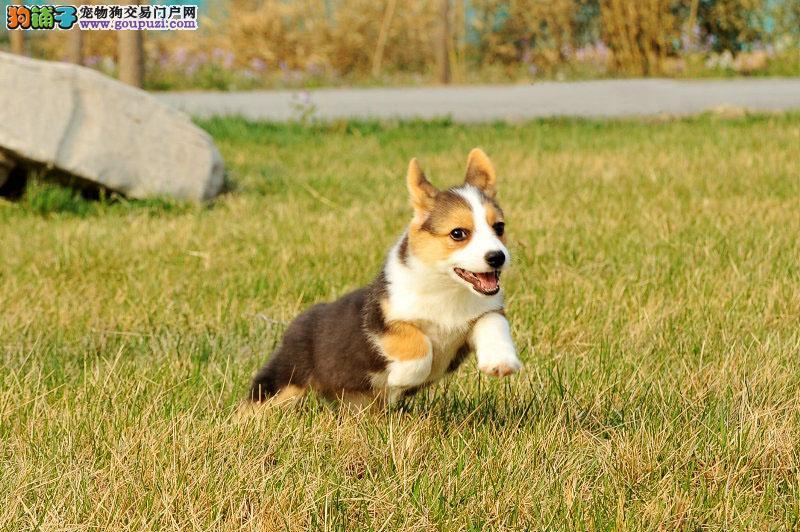 国际注册犬舍 出售极品赛级柯基幼犬一宠一证视频挑选