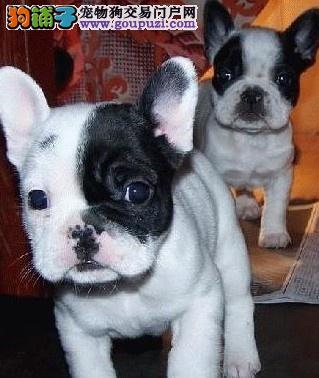 高端法国斗牛犬幼犬、可看狗狗父母照片、三年质保协议
