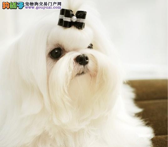 深圳买马尔济斯犬可上门看狗外地可视频挑选