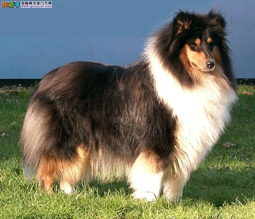 精品赛级苏格兰牧羊犬出售