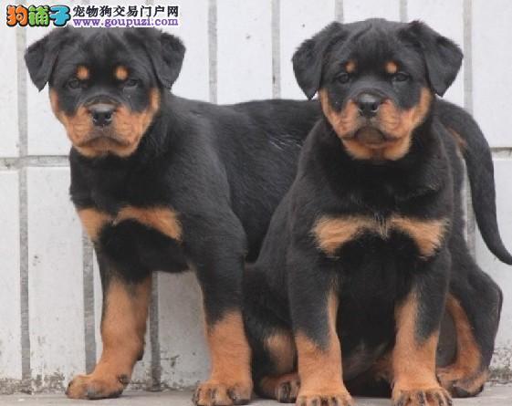 石家庄最大犬舍出售多种颜色茶杯犬可签合同刷卡