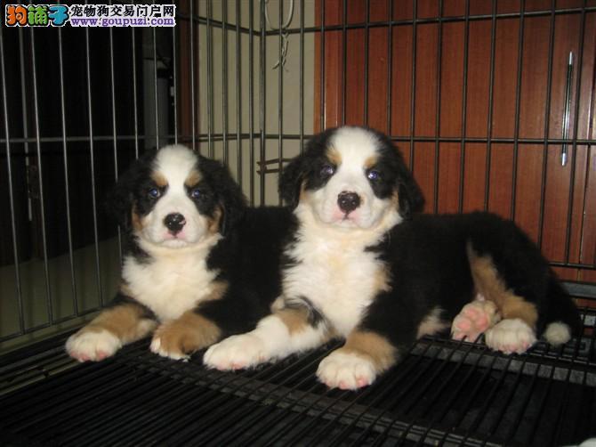 高贵绅士瑞士伯恩山犬,瑞士国犬。伯恩山犬舍