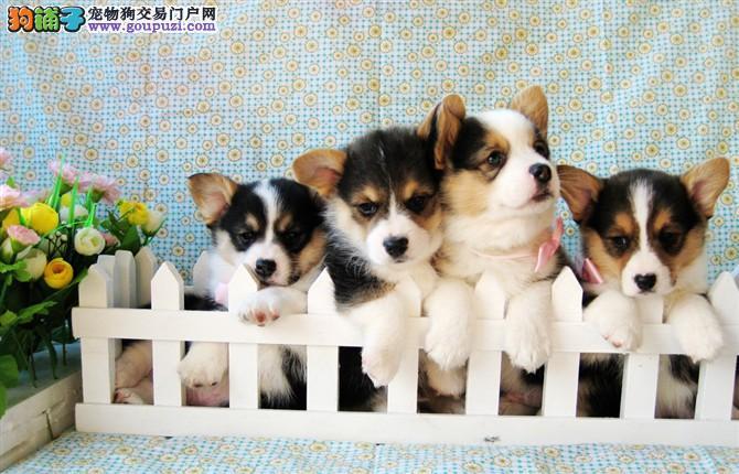 健康可爱的柯基犬 三色两色的都有