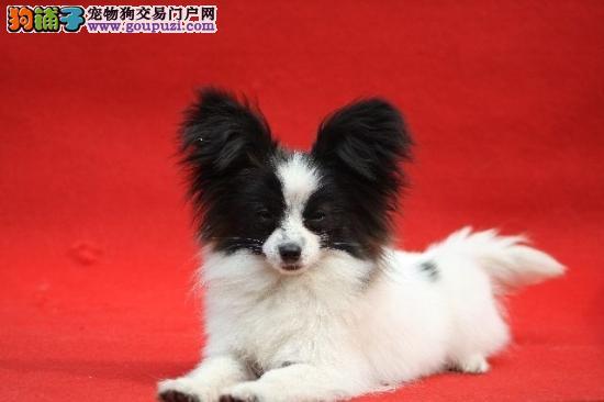 呼和浩特出售纯种蝴蝶犬 活泼健康 爱犬人士可上门看狗