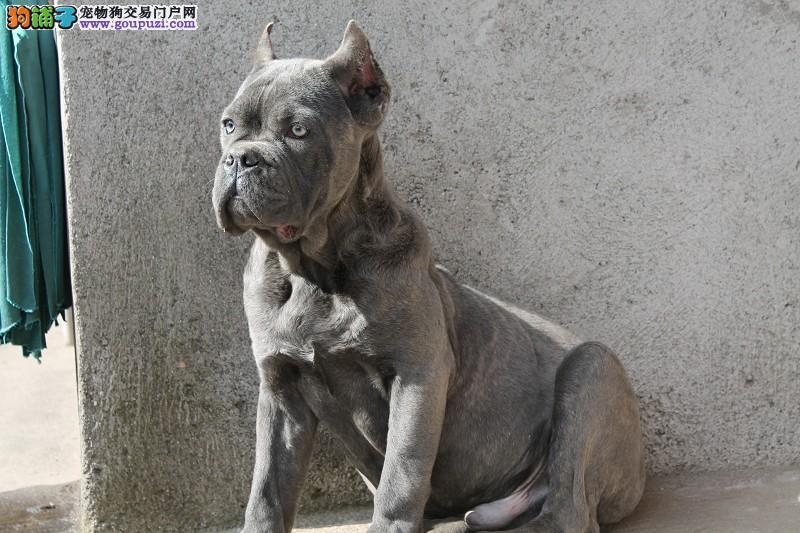 百分百健康纯种卡斯罗犬重庆热卖中国际血统认证