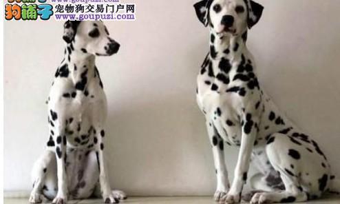 纯种斑点狗 实物拍摄斑点狗宝宝 大麦町幼犬