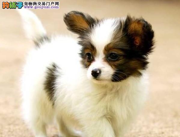 极品蝴蝶犬幼犬 公母均有多只选择 三包终生协议