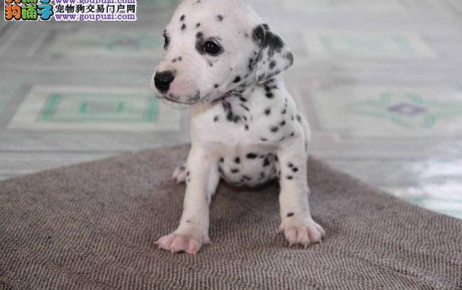 热销斑点狗幼犬,欢迎选购信誉第一,实物拍摄可见父母,质保健康90天
