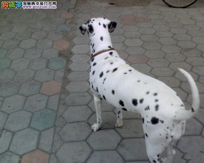 顶级斑点狗出售喜欢大麦町犬的朋友联系包三个月健康