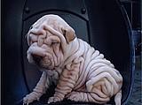 很稀少的沙皮幼犬很有内涵的哦