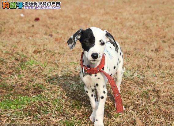 哪里出售纯种斑点犬 健康斑点幼犬多少钱一只