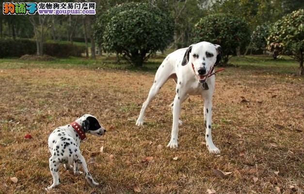 纯血统斑点狗幼犬 价格美丽品质优良 讲诚信信誉好
