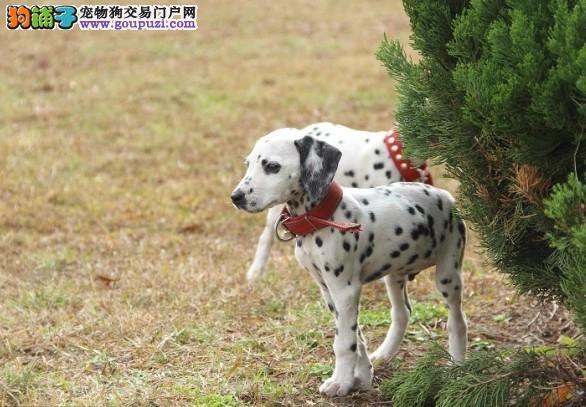 乌鲁木齐实体店低价促销赛级斑点狗幼犬喜欢来电咨询