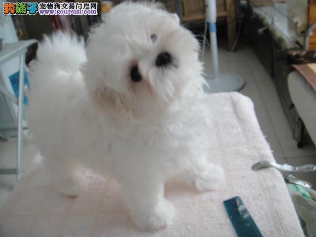 爆款 精品出售家养马尔济斯 纯种正宗成幼年犬 可爱
