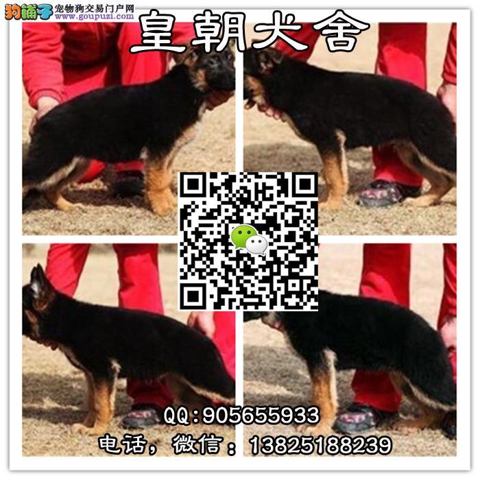 广州哪里有卖德牧幼犬 广州哪里有卖德牧