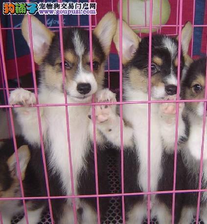 上海大众狗场直销高品质柯基犬 包健康品质 颜色齐全