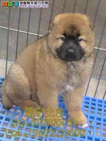 广州哪里有卖纯种巨型高加索犬幼犬英皇犬舍