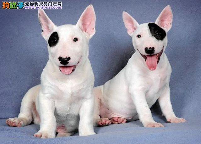 杭州哪里的牛头梗犬最便宜 哪里的牛头梗最健康
