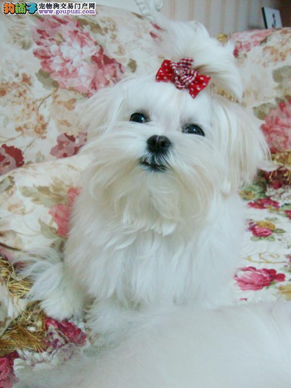 西城犬舍出售漂亮的马尔济斯质保协议