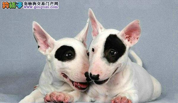 广州哪里有卖牛头梗犬 牛头梗犬一只多少钱 牛头梗价格