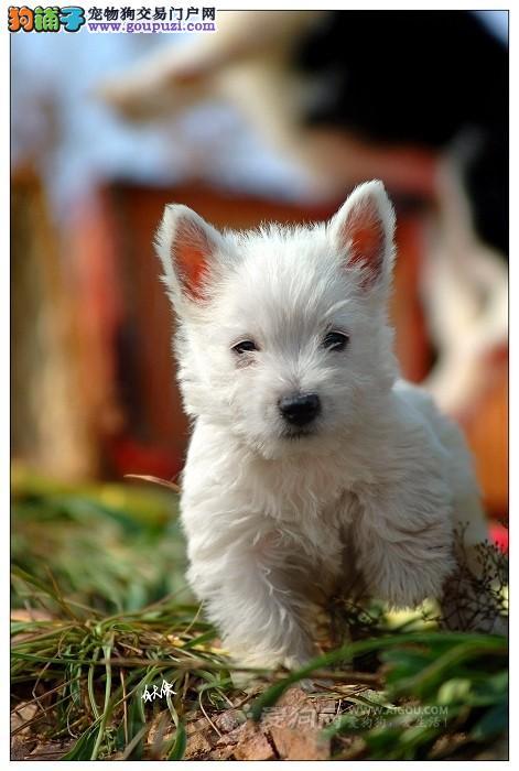 赛级西高地幼犬,保证品质一流,提供养护指导