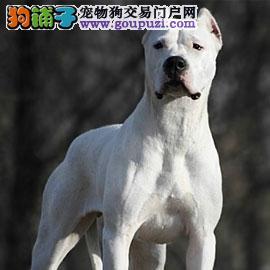 完美品相血统纯正定西杜高犬出售欢迎您的光临