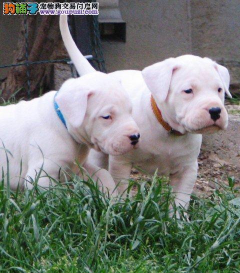 宁德自家狗场繁殖直销杜高犬幼犬支持全国空运发货