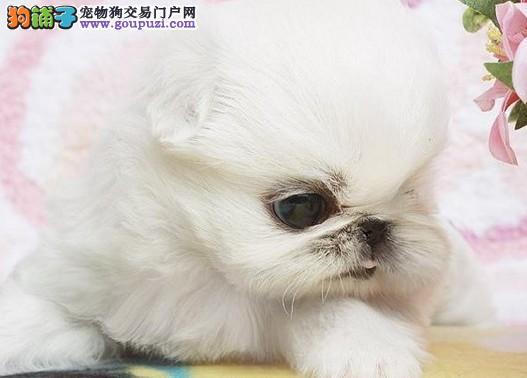 CKU认证犬 健康的京巴幼犬实体店专售 喜欢的来
