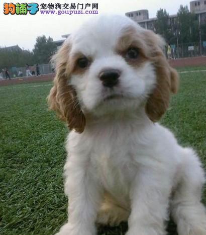 美系英系可卡幼犬 最健康的可卡宝宝实体店出售