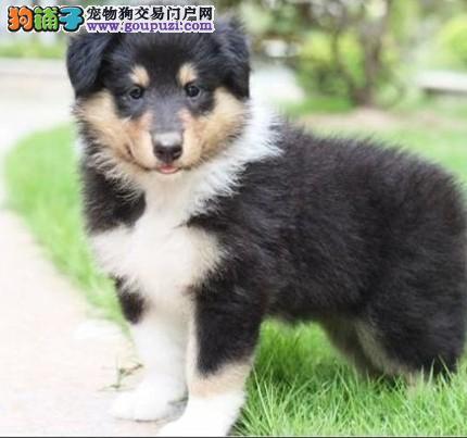 乌鲁木齐精品高品质喜乐蒂宝宝热销中微信咨询看狗狗照片