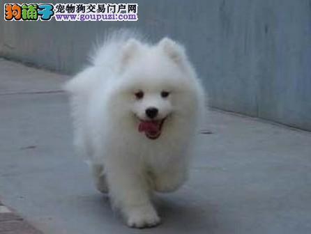 纯种银狐犬出售 公母都有纯种健康 签协议可送货
