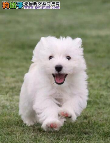 纯种白梗西高地幼犬等你领回家