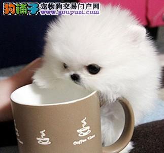 纯种茶杯玩具泰迪熊出售 品相好颜色齐全 健康签协议