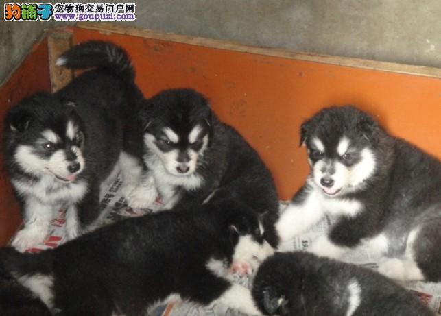 贵州凯里买阿拉斯加犬出售凯里卖阿拉斯加犬出售