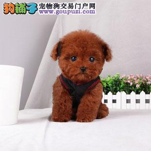 上海泰迪幼犬,茶杯,玩具,迷你,各种颜色均有