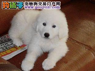 CKU认证犬业专业繁殖大白熊宝宝 绝对信誉