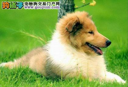 南京苏格兰牧羊犬犬价格 南京苏格兰牧羊犬图片