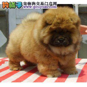 CKU认证犬舍低价出售纯种美系正版小体大肉嘴松狮犬
