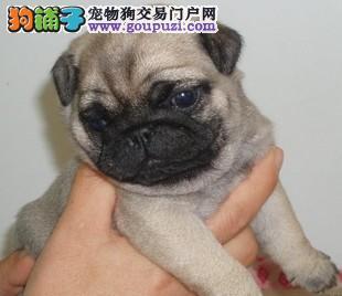杭州专业繁殖精品巴哥犬 疫苗齐全 保纯保健康 签协议
