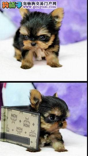 长沙哪里出售约克夏犬纯种健康的约克夏出售