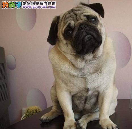 出售纯种巴哥幼犬~包纯种健康`多只可选
