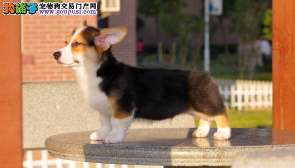 柯基犬哪里买_柯基犬舍_柯基犬价格_柯基犬多少钱?
