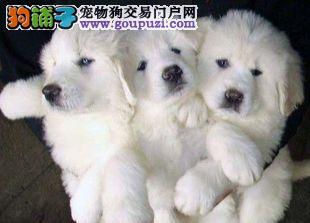 聪明,温和,自信,独立,忠诚,勇敢 大白熊