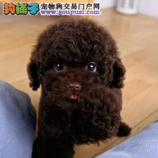 只做苏州最好的泰迪犬 进口品质 售后与完美结合
