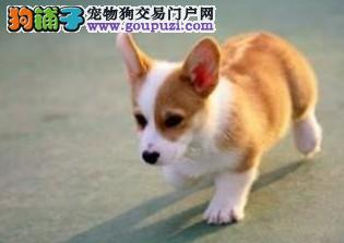 重庆哪里有卖柯基的重庆纯种柯基 健康疫苗齐全
