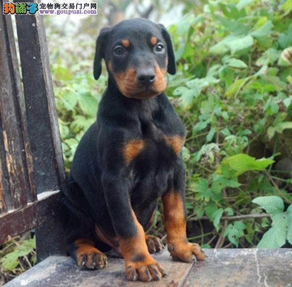 犬场直销纯种德系杜宾包品质及健康