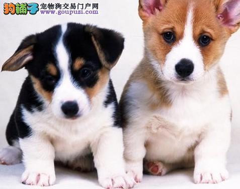 纯种赛级犬柯基犬宝宝 柯基犬狗狗多少钱一只纯种