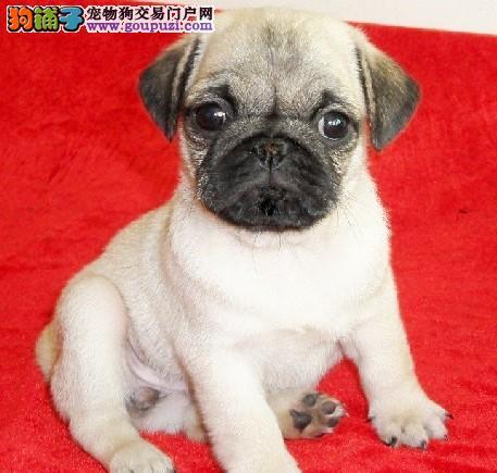 广州犬业宠物狗繁殖 出售巴哥